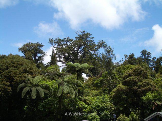 bosque-kauris