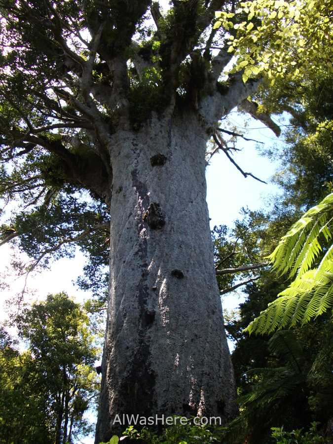 WAIPOUA FOREST AND TANE MAHUTA, THE BIGGEST TREE IN NEW ...