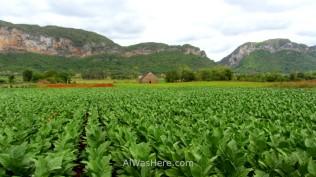 Viñales 0. Plantaciones de tabaco en el Valle de Viñales, Cuba. Tabacco plantations in Vinales Valley