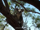 Koala in Magnetic Island, Queensland, Australia