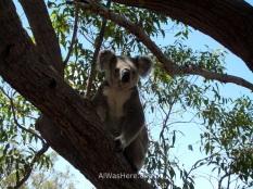 Koala in Magnetic Island, Queensland, Australia