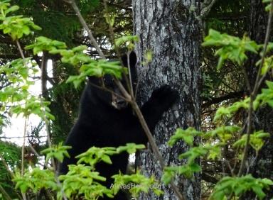 Oso negro en Juan de Fuca Marine Trail, Isla de Vancouver