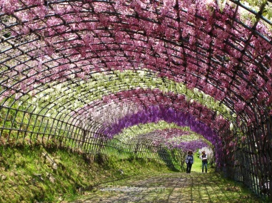 Wisteria tunnel in Kawachi Fuji-en