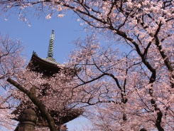 Cherry blossoms and a pagoda in Tokyo
