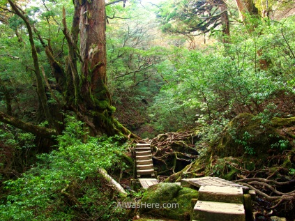 Ohokabu Trail, Yakushima, Japan
