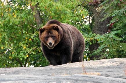Grizzlie Bear in Bronx Zoo, New York City