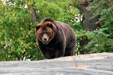 Grizzlie Bear in Bronx Zoo, New York City