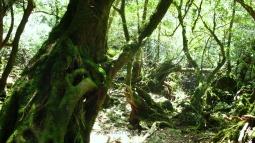 Rain forest in Yakushima, Kagoshima