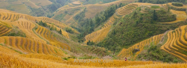 Longji Rice Terraces in mid-October, Dazhai, Guilin