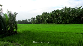 Rice fields in Donsol, the Philippines