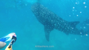 Whale sharks, the Philippines