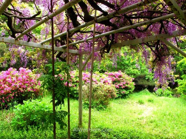 AOSHIMA 4. Jardin glicinias wisteria garden Isla Island templo temple shrine santuario Japan Japon Kyushu Miyazaki