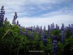 Russell lupines in bloom in Stykkisholmur, Iceland