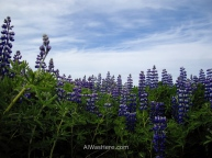 Russell lupines in bloom in Stykkisholmur, Iceland