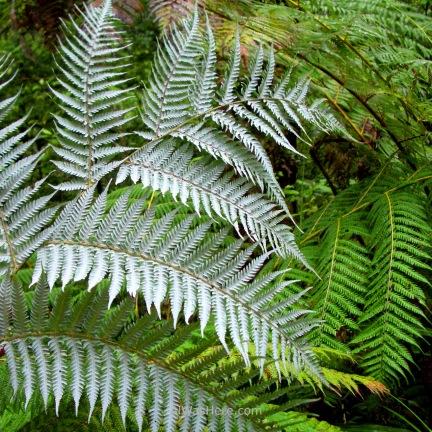 White ferns in Abel Tasman National Park, New Zealand