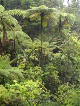 Over 10 meters (30 feet) high fern trees, Abel Tasman National Park, New Zealand