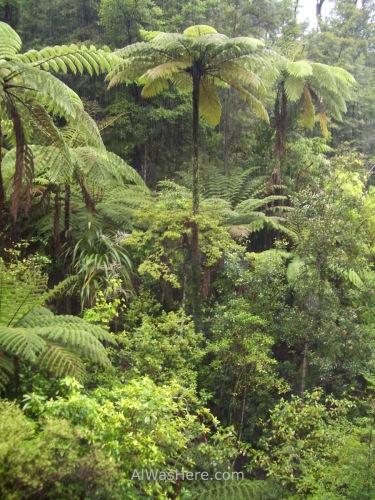 Over 10 meters (30 feet) high fern trees, Abel Tasman National Park, New Zealand