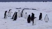 Antártida 2 Half Moon Island Antarctica Media Luna Pingüino Barbijo Chinstrap Penguin (3)