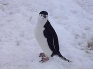 Antártida 2 Half Moon Island Antarctica Media Luna Pingüino Barbijo Chinstrap Penguin
