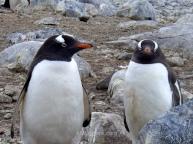 Gentoo penguins, Cuverville Island, Antarctica