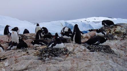 Antartida Cuverville Island Antarctica Pingüino Gentoo, Gentu o Juanito penguin (4)