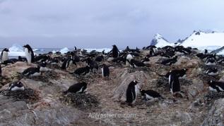 Antartida Cuverville Island Antarctica Pingüino Gentoo, Gentu o Juanito penguin (5)