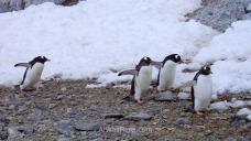 Antartida Cuverville Island Antarctica Pingüino Gentoo, Gentu o Juanito penguin