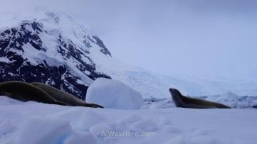 Antartida Puerto Neko foca cangrejera Antarctica Neko Harbour crabeater Seal (3)