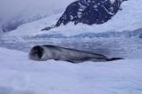Antartida Puerto Neko foca Leopardo, Antarctica Neko Harbour Leopard Seal (2)
